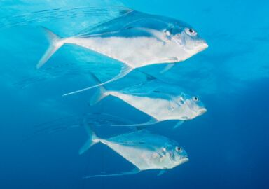 African Pompano Jack
