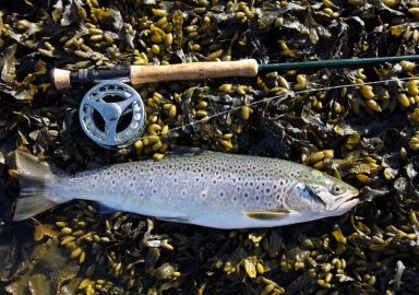 Spotted Seatrout