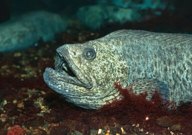 Wolffish (Atlantic)