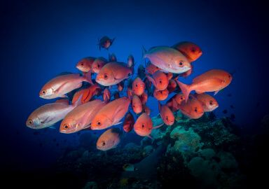 Short-Tail Red Snapper